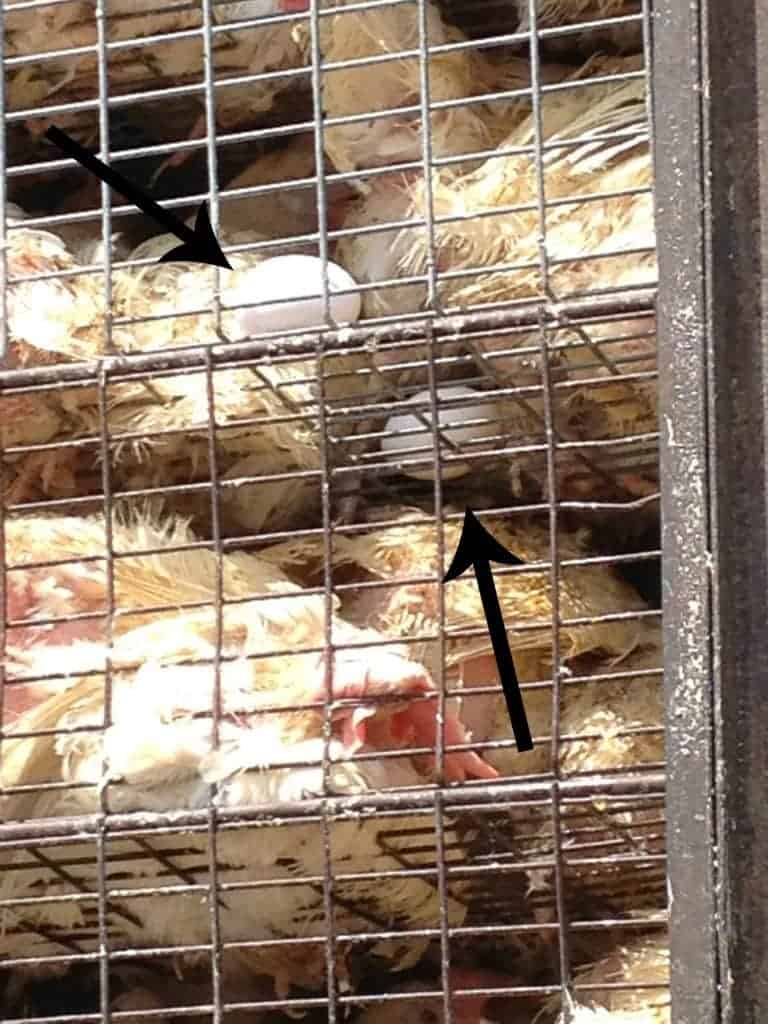 Chickens laying eggs in transportation crates