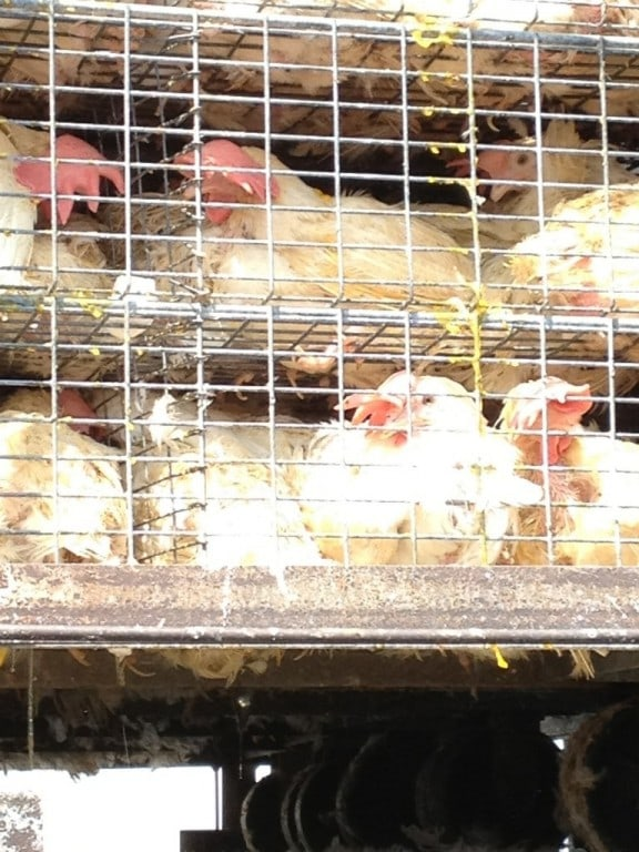 Chickens being transported