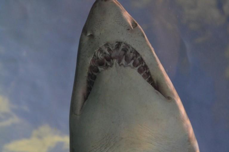 Shark! Ripley's Aquarium - Gatlinburg