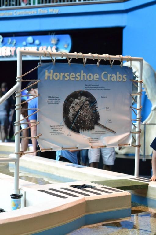 Horseshoe Crabs - Ripley's Aquarium