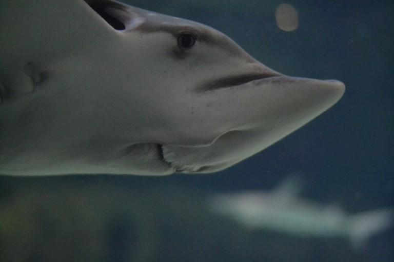 Stingray @ Ripley's Aquarium - Gatlinburg