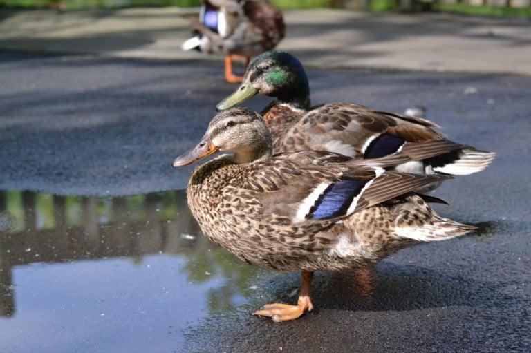 Ducks @Dollywood