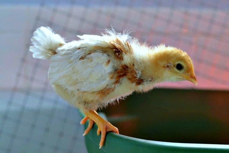 Baby chicken perching