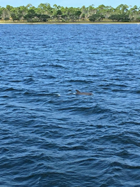 dolphin swimming in the Gulf of Mexico