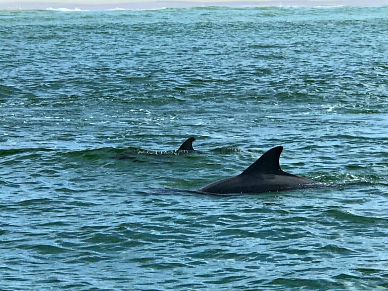 Dolphins swimming near Panama City