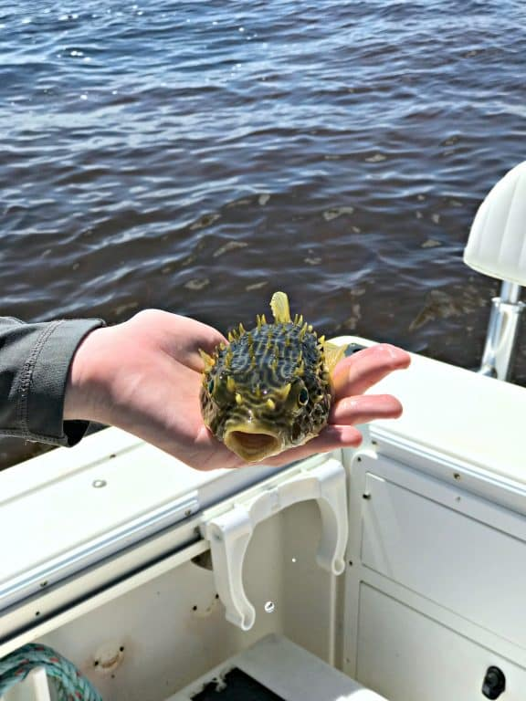 Puffer fish caught by hand