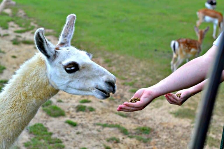 llama eating out of hand