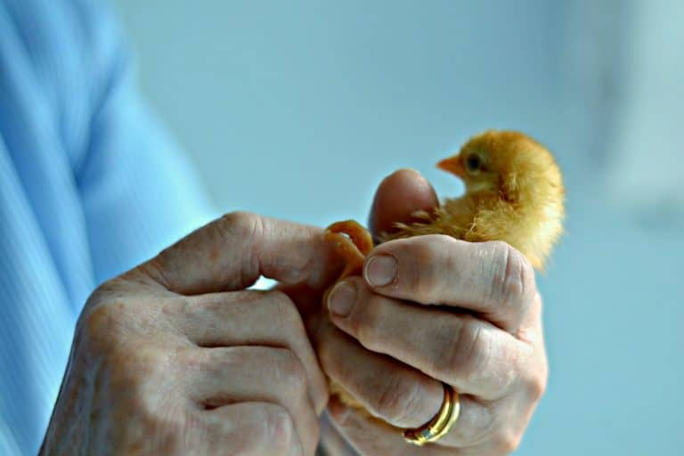 Woman looking at baby chicken's feet