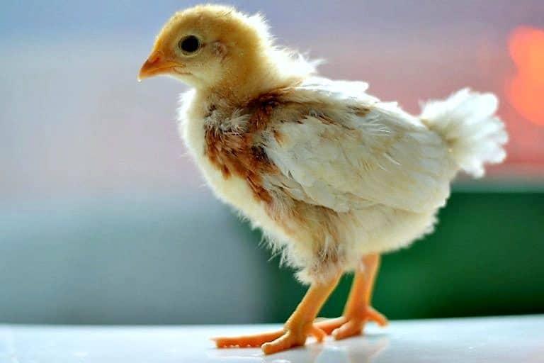Baby yellow chicken