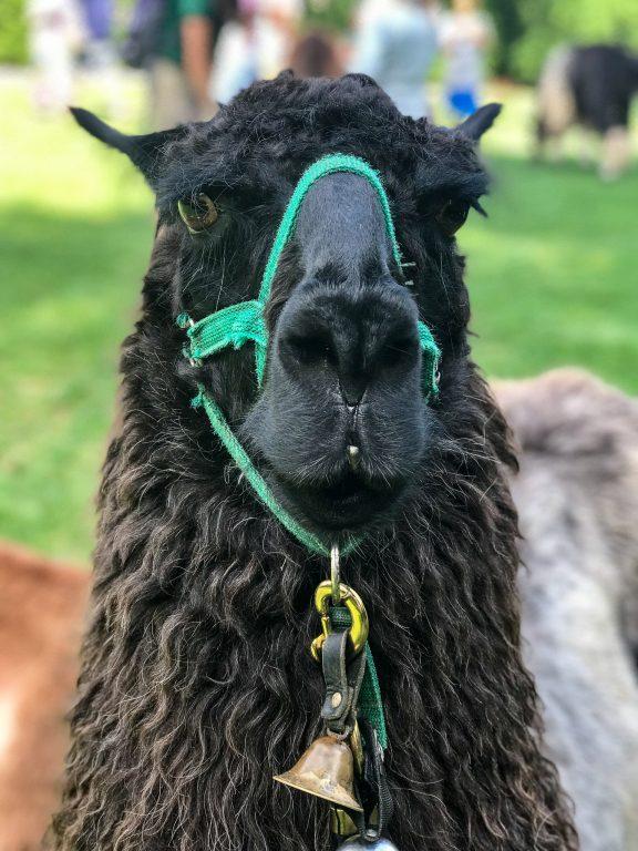 black male llama