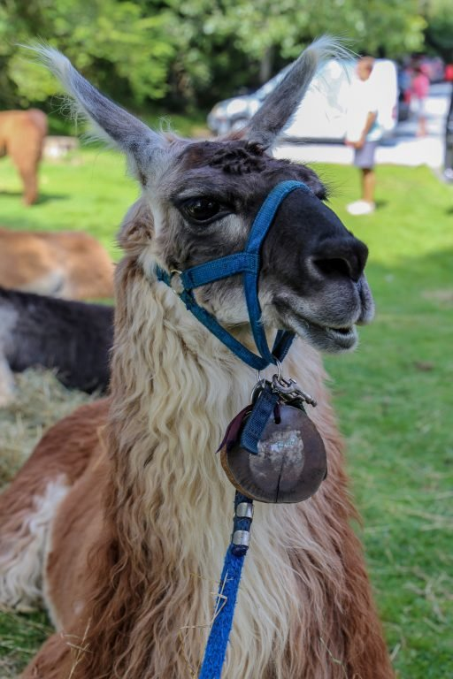 llama with bell