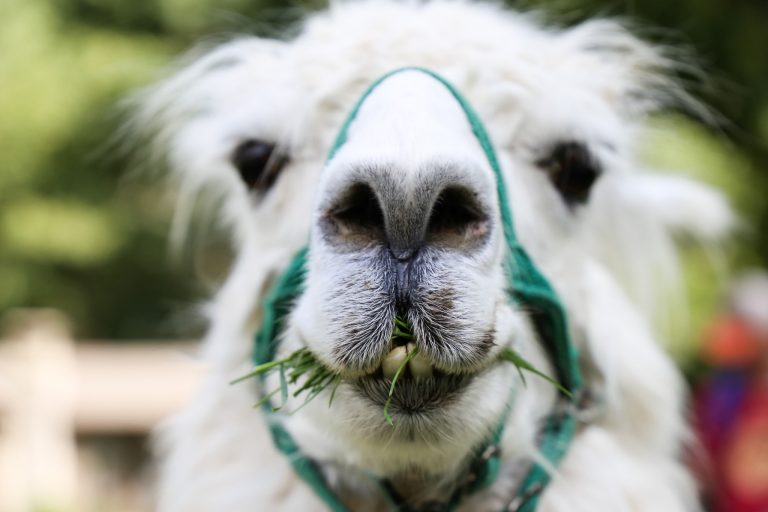 llama chewing grass