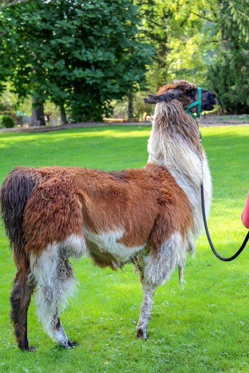 llama on a leash