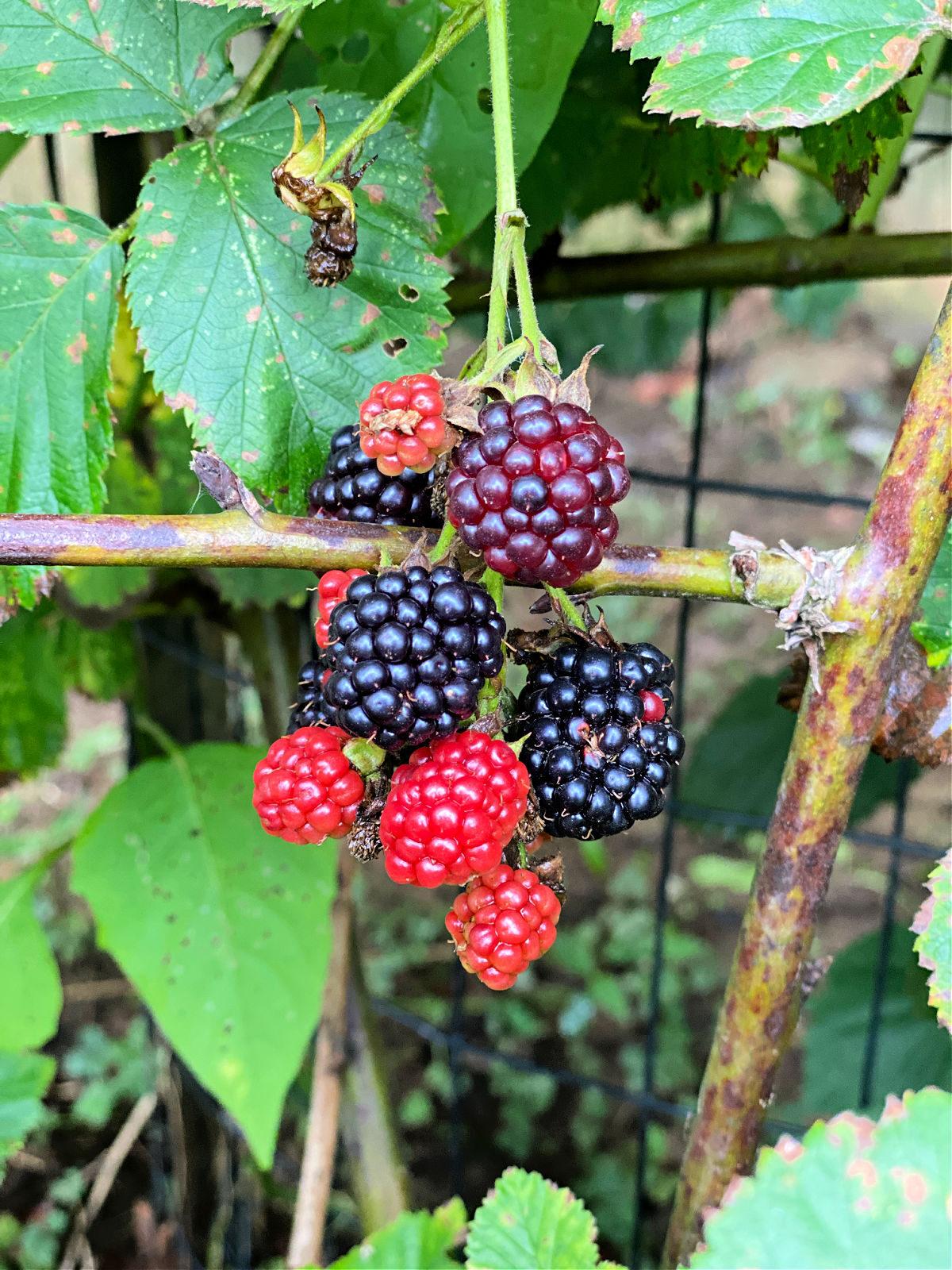 Blackberries growing on a vine.
