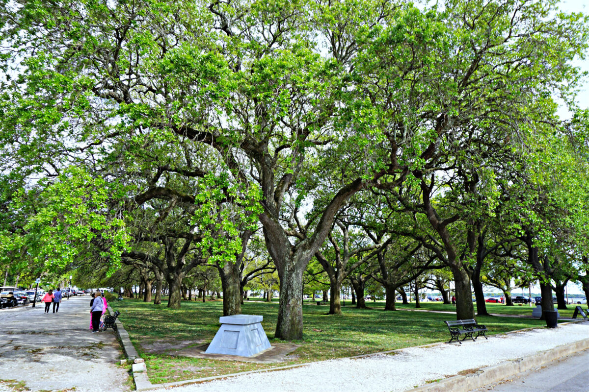 Trees at the Charleston Battery.